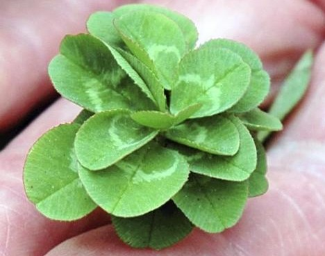 The record-breaking clover's 21
