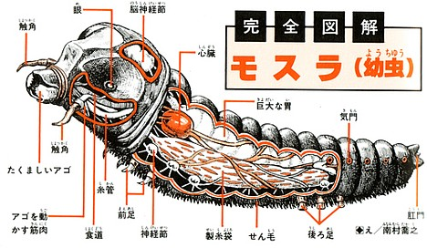 Anatomy of Mothra larva -- 
