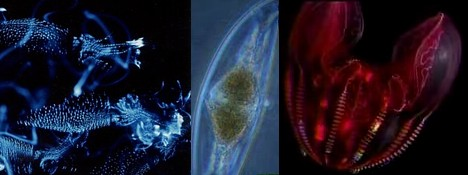 Bioluminescent marine life --- 