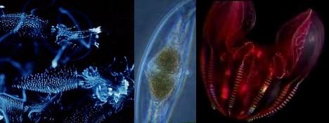 Bioluminescent marine life ---