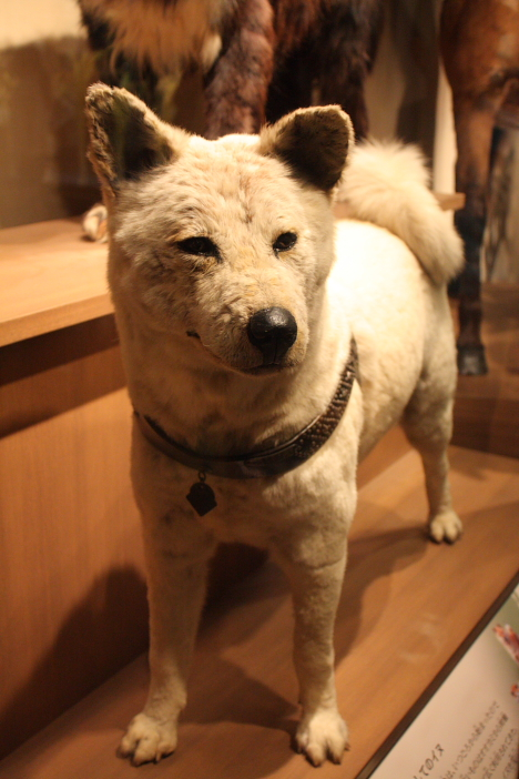 Hachiko at National Museum of Nature and Science, Tokyo --