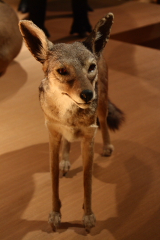 Canine at National Museum of Nature and Science, Tokyo --