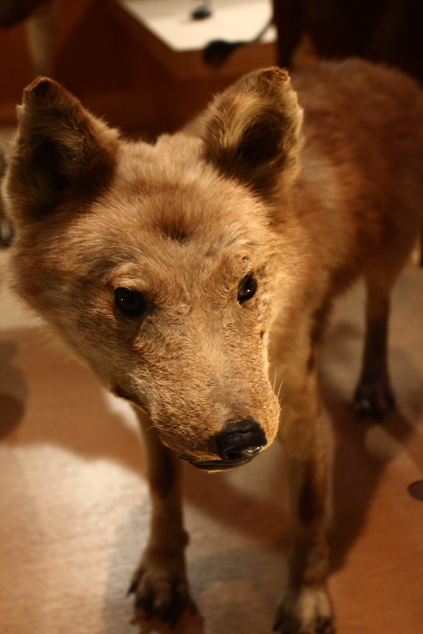 Honshu Wolf, Japanese wolf, at National Museum of Nature and Science, Tokyo --