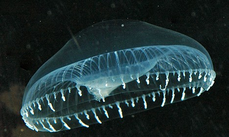 Crystal jelly, a.k.a. Aequorea victoria -- 