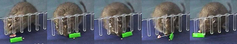 Degu learns to use rake --
