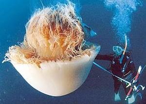 Echizen kurage, Nomura's jellyfish --