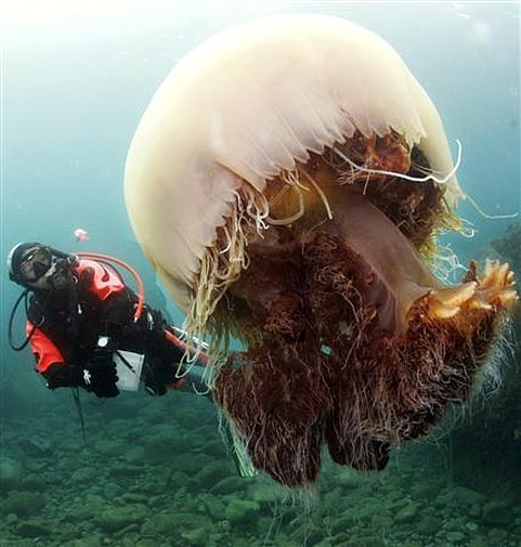 Japan fears massive jellyfish invasion this year ~ Pink ...Japanese Giant Jellyfish