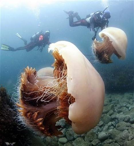 Echizen kurage/ Nomura's jellyfish --
