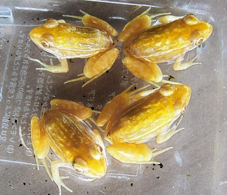 Gold frogs -- 
