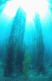 Sargasso seaweed as biofuel ---