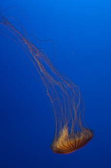 Japanese sea nettle --