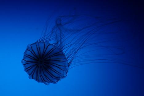 Japanese sea nettle --