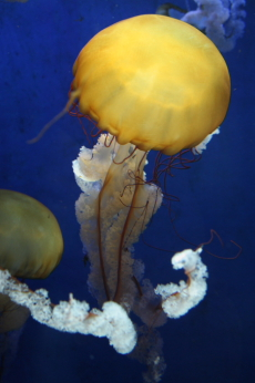 Pacific sea nettle --