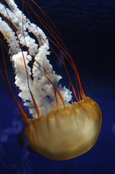 Pacific sea nettle --