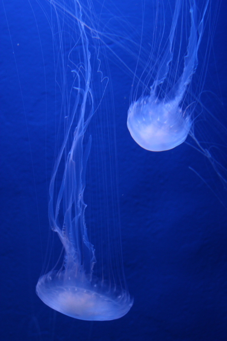 Atlantic sea nettle -- 
