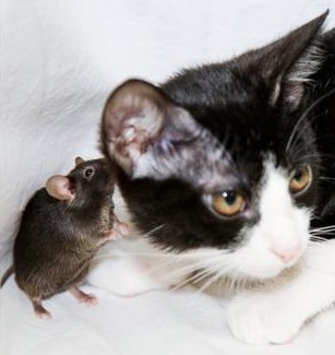 Genetically modified mouse does not fear cats --