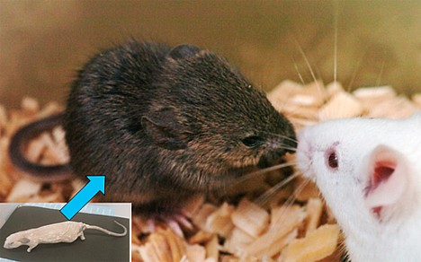 Mouse cloned after 16 years in freezer --