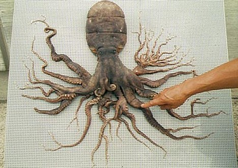 96-armed octopus --