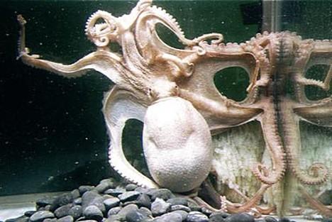 96-armed octopus --
