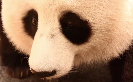 Giant Panda --