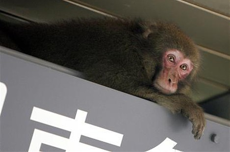 Monkey on the loose in Shibuya --