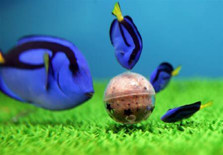 Blue tang playing soccer