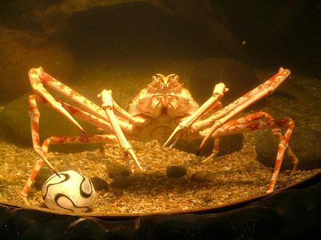 Crab playing soccer