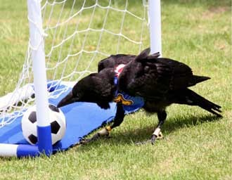 Crow playing soccer
