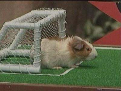 Guinea pig playing soccer
