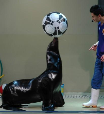 Sea lion playing soccer