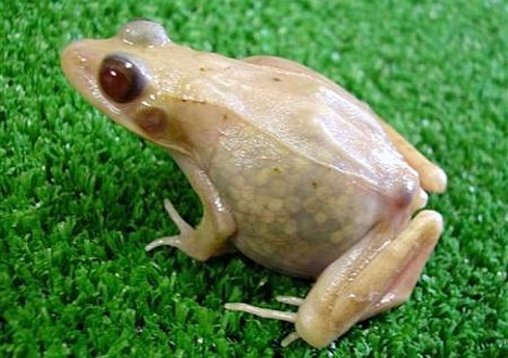 Translucent frog --